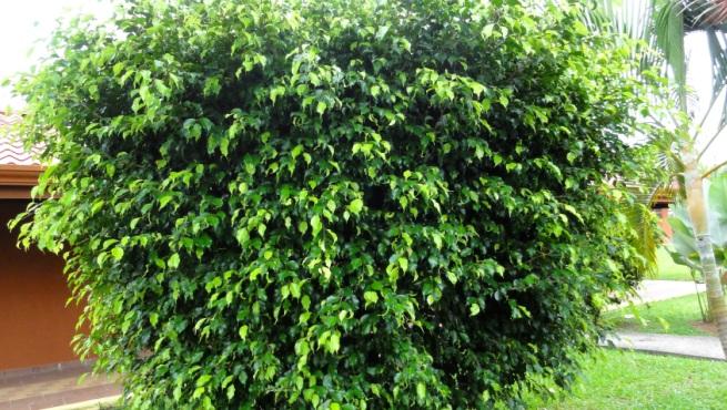 La ciudad pide no plantar rboles da inos entre r os ahora for Arboles para sombra de poca raiz